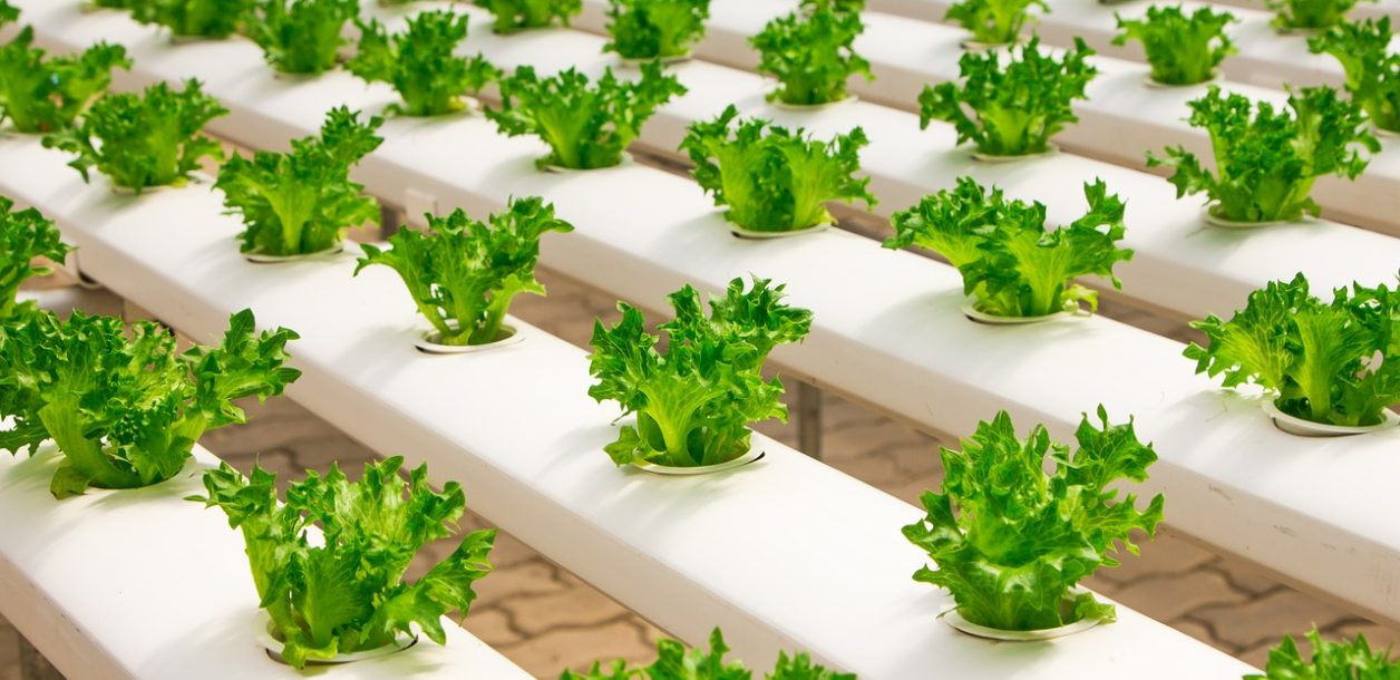 LED水耕栽培でロビーでお野菜をつくる
